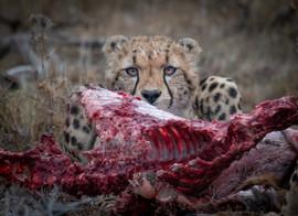 Cheetah enjoying a meal