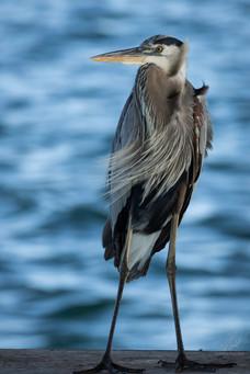 Wind blown heron