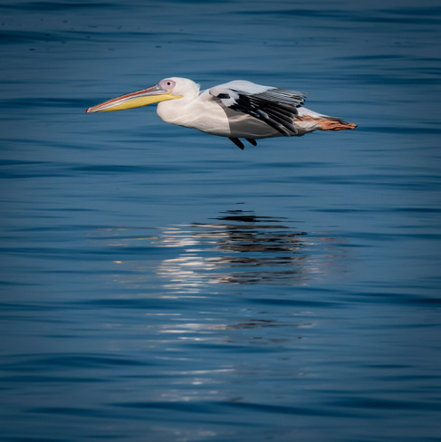 Low Flying White Pelican