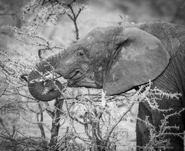 Afrian elephant