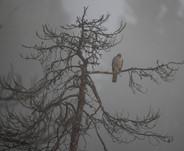 Hawk looking for food