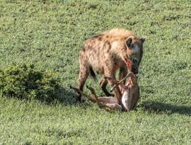 Feeding on a young impala