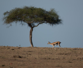 Thompson gazelle