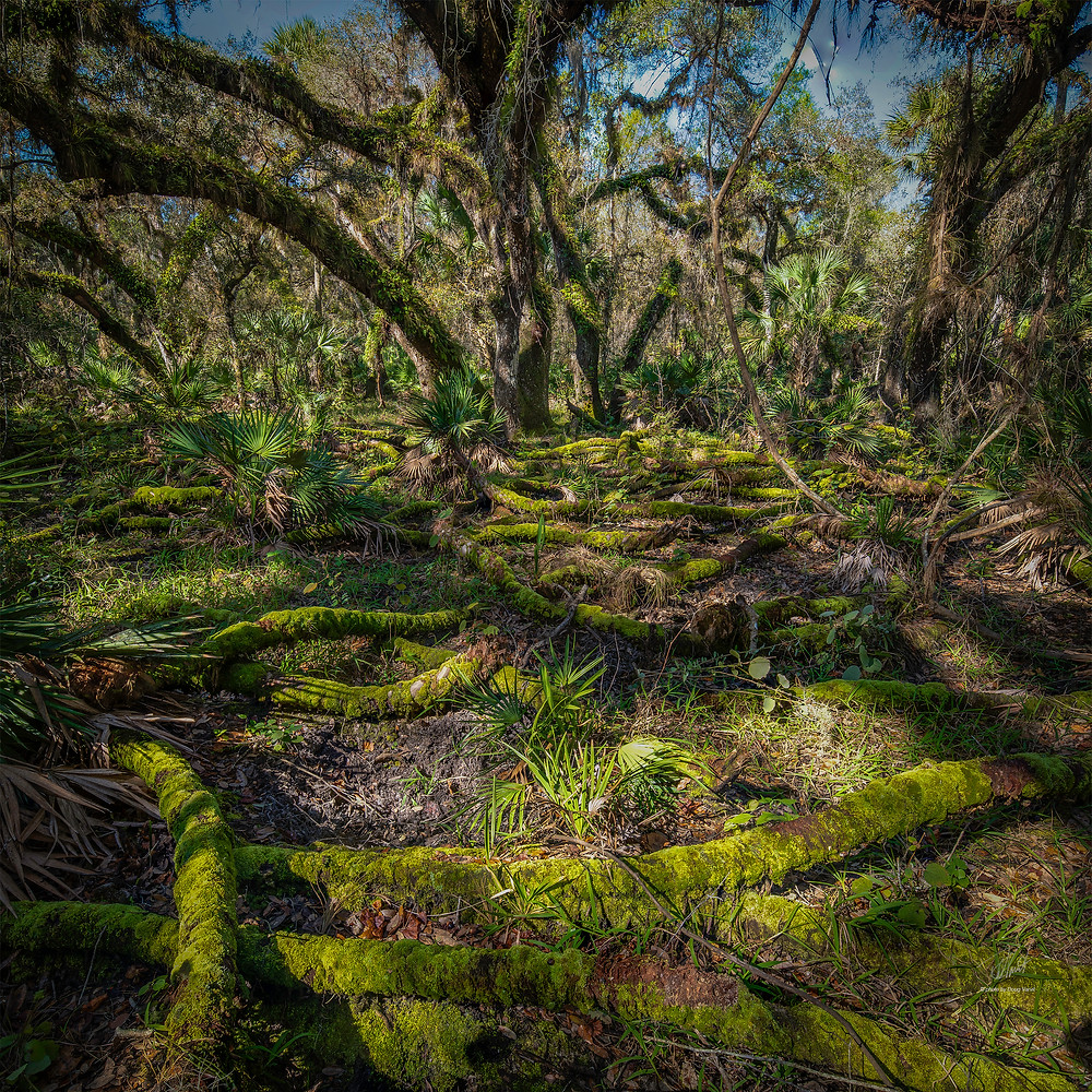 In the rainy season of south Florida the swamps are full of standing water.  In the dry winter the water subsides leaving the ground exposed.  No standing water but the ground is still wet. This coupled with the canopy of leaves makes it a perfect place for moss to grow.  Here the moss has covered roots and sticks that criss cross across the ground making for an almost surreal Indiana Jones type movie set.  This photo was taken in the Myakka state park near Sarasota Florida.