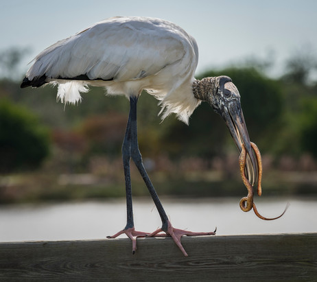 Wood stork and snake