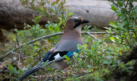 A beautiful Jay in Finland