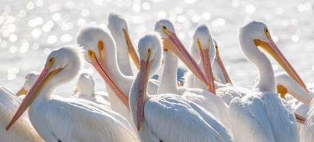 A gathering of white pelicans