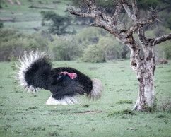 Male Ostrich doing the dance of love