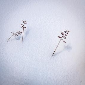 Plants peeking through the snow