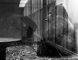 WL gorilla- Antwerp Zoo
