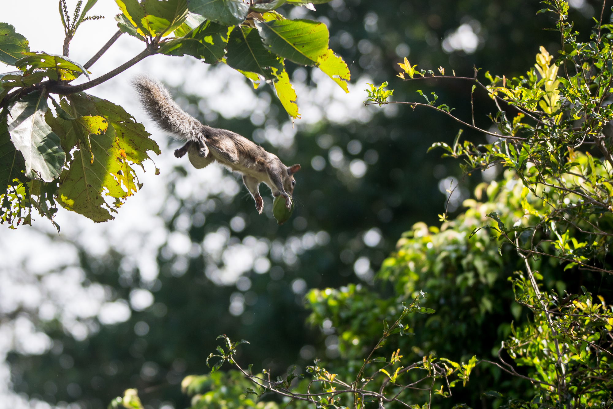 """Flying"" squirrel- FL"