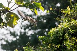 """""""Flying"""" squirrel- FL"""