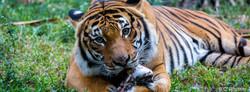 Malaysian tiger- PB Zoo