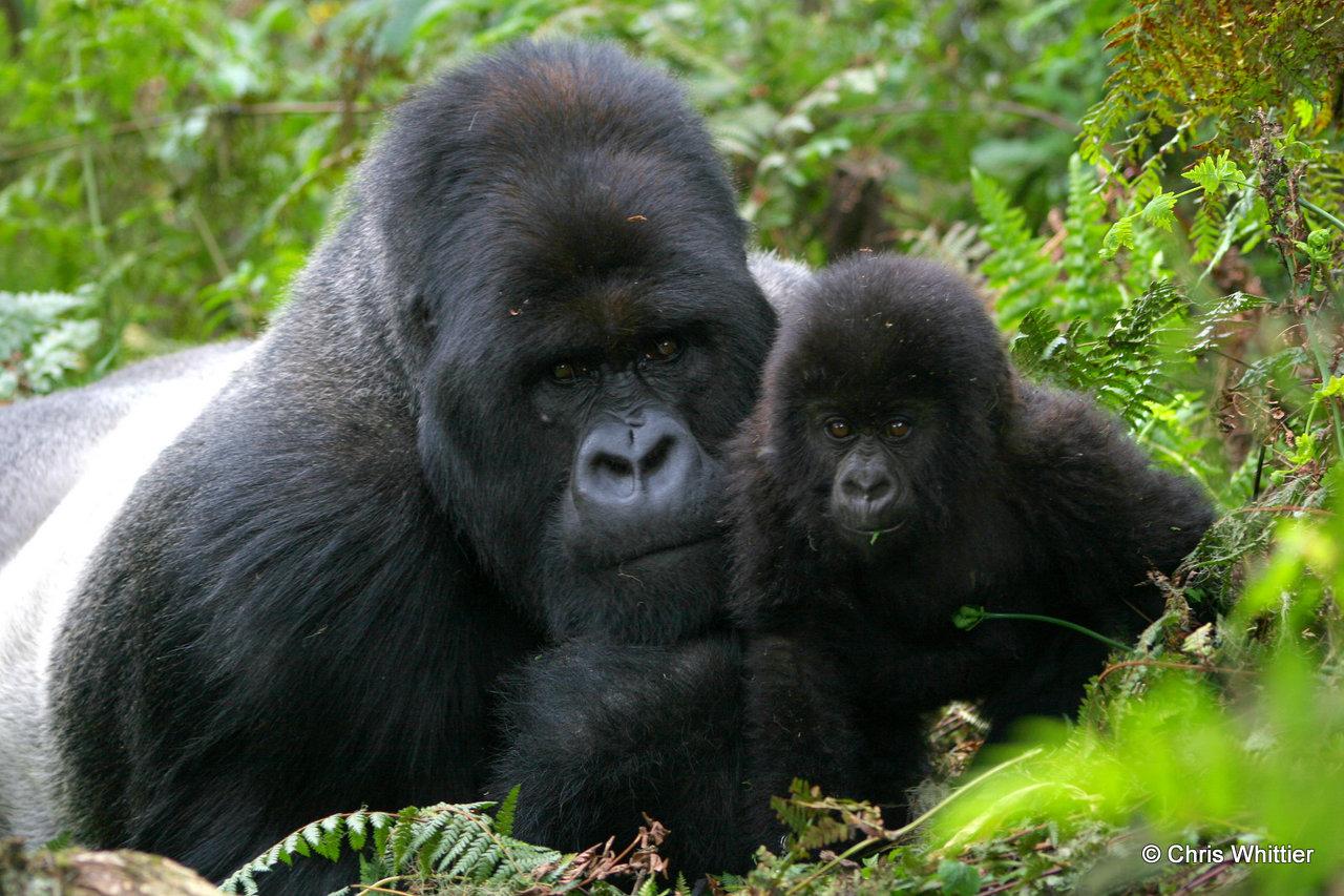 Big Gorilla, Little Gorilla #1