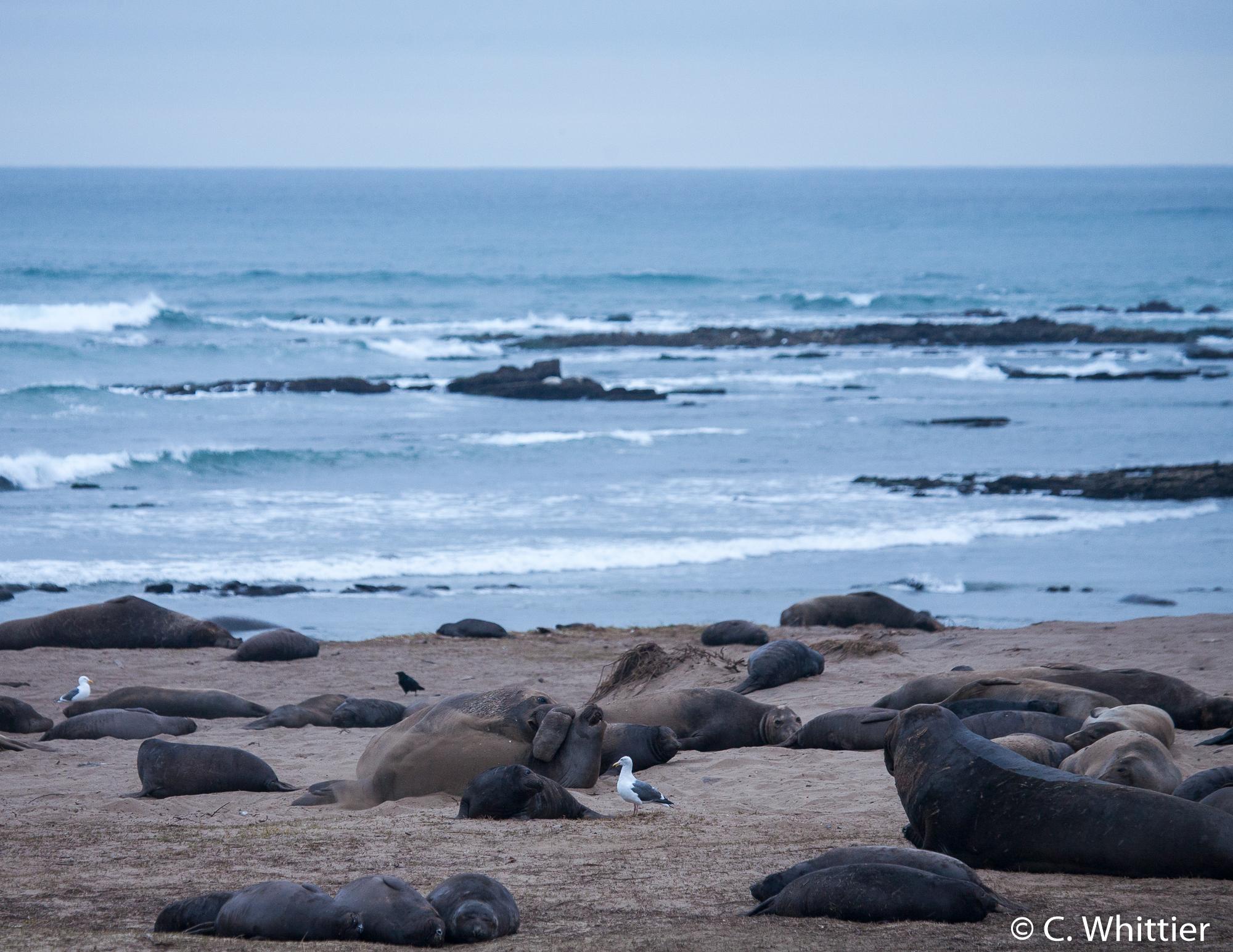 Elephant Seals & Co.