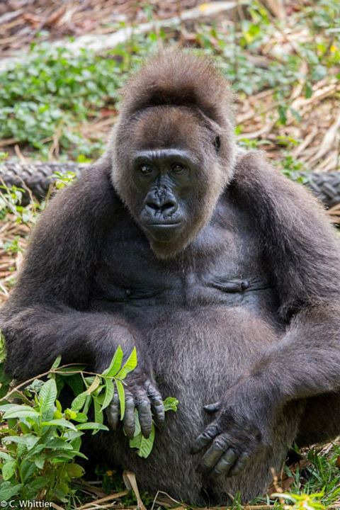Nyango, the Cross River gorilla