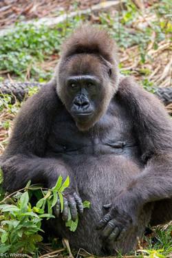 Nyango, the Cross River gorilla