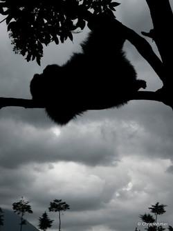 Relaxing mountain gorilla- RW