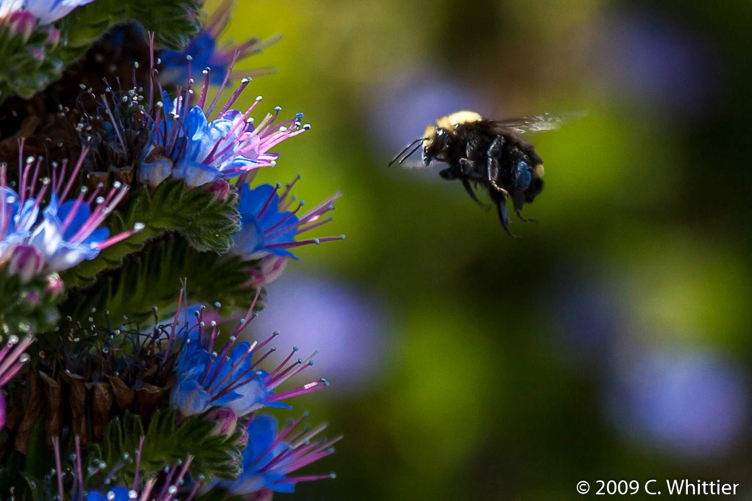 Bumble and Blue