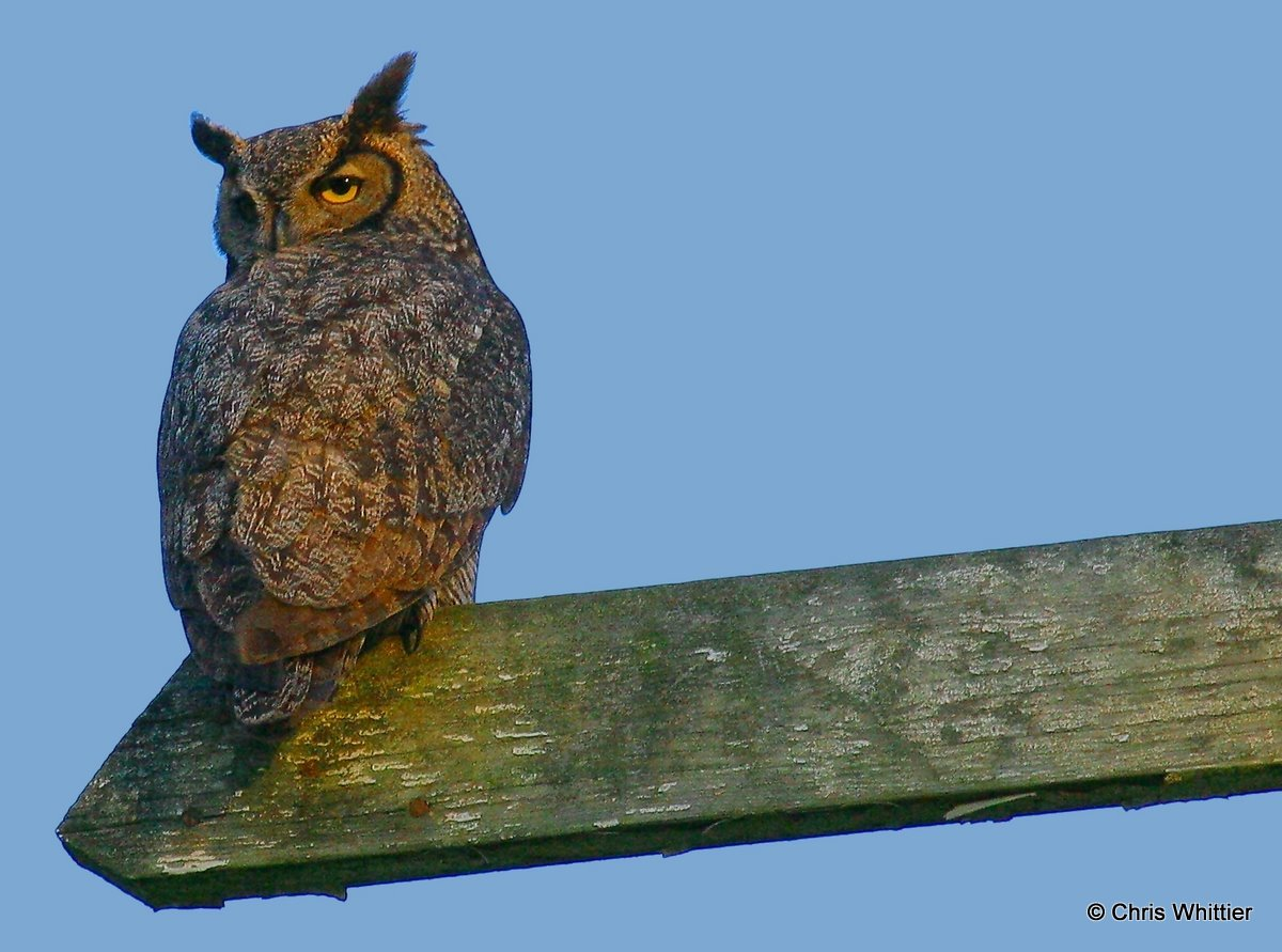 Perched Great Horned Owl