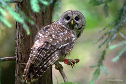 Bard owl feeding- CA