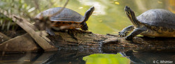 Reflected turtles- FL