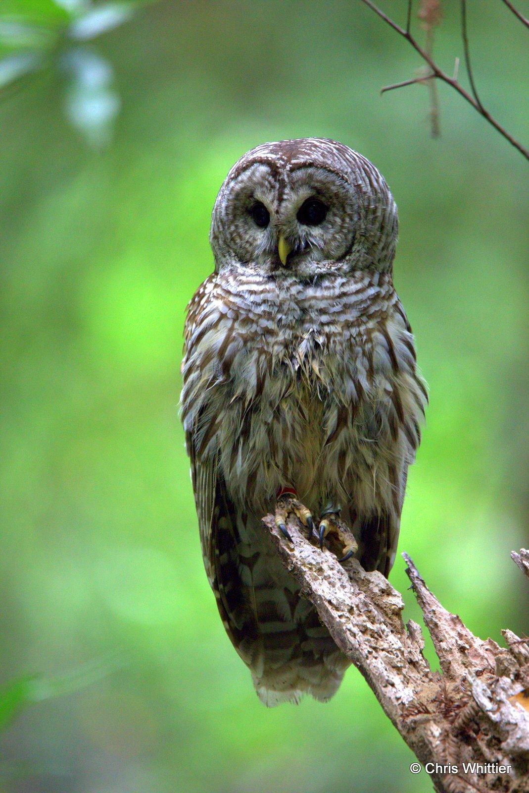 Bard owl- CA