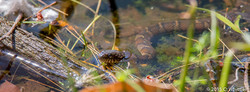 Northen water snake- MA