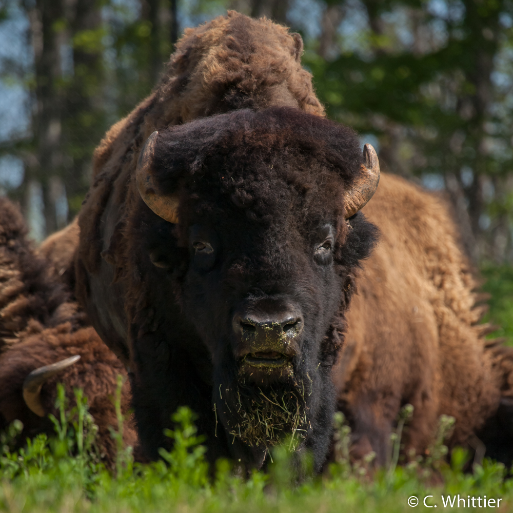 American bison- NC Zoo