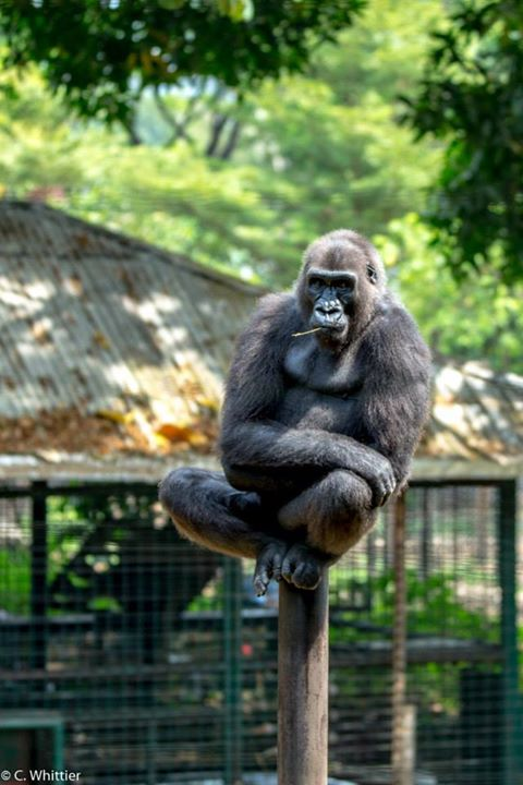 Blackback (young adult male) western lowland gorilla happily perched