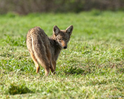 Coyote Searching for Lunch