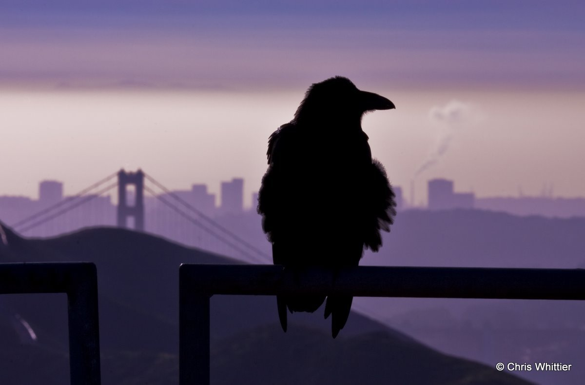 Crow above San Fran- CA