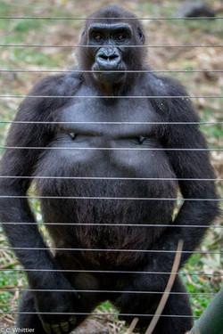 Blackback (young adult male) gorilla