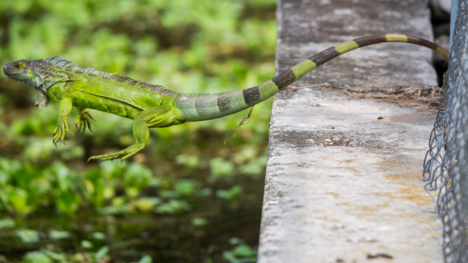 Diving iguana- FL