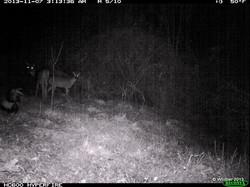 Skunk with deer- MA