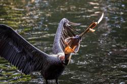 Brown pelican- PB Zoo