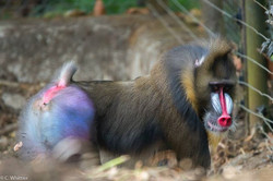 Adult male mandrill