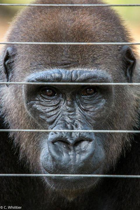 Subadult WL gorilla