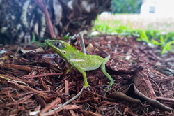 Young Cuban knight anole- FL