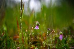 A Broadleaf Filaree in the Dew