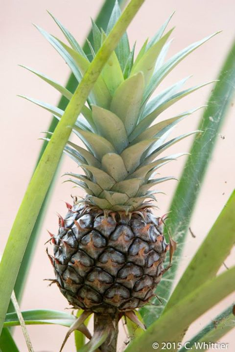 Yup, pineapples growing in camp