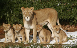 African lions- Nat Zoo