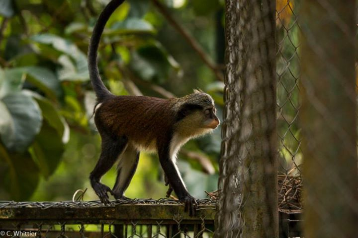Escaped guenon trying to get back in