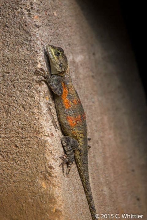 Agama lizard of some sort
