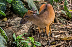 Duiker- I think this is the bay or black-backed species