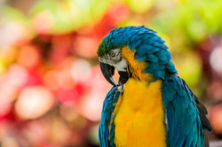 Blue and gold macaw- LCS, FL