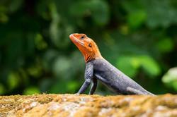 Rainbow (aka common) agama lizard