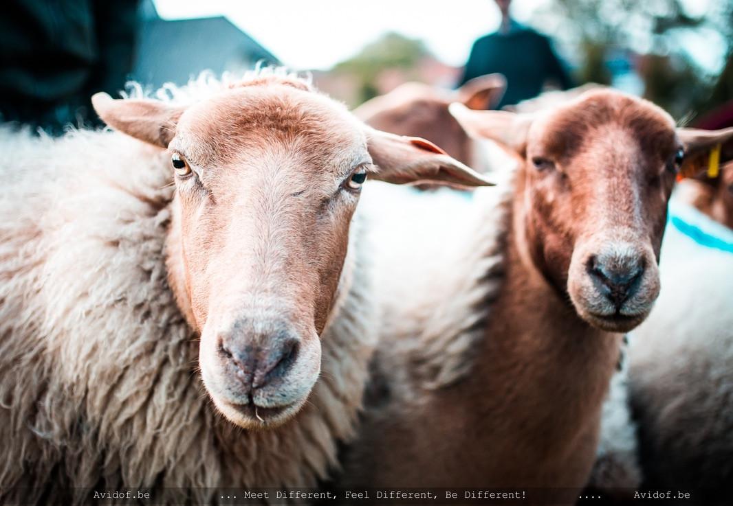 schapen drijven