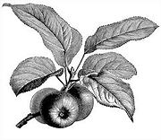apple leaf.jpg