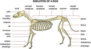 Bones and Joints benefit from Canine Massage Therapy